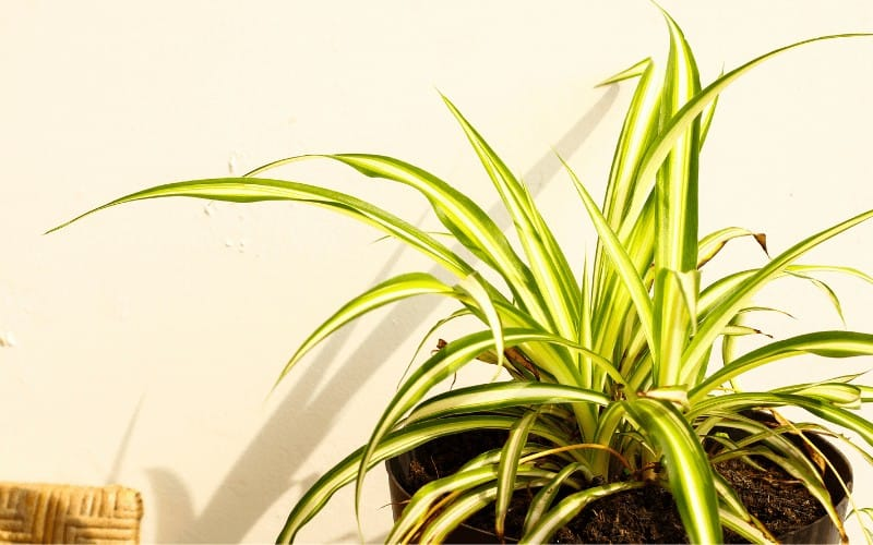 Signs That Your Spider Plant Is Dying
