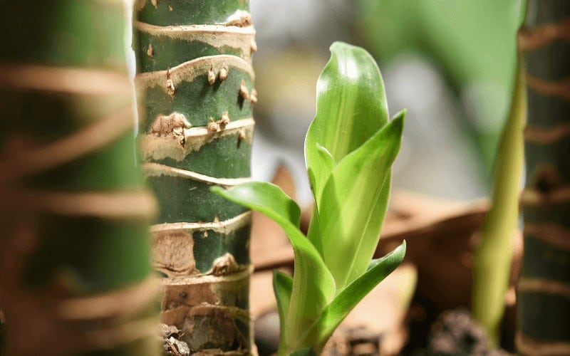 Signs of a Dying Dracaena Plant