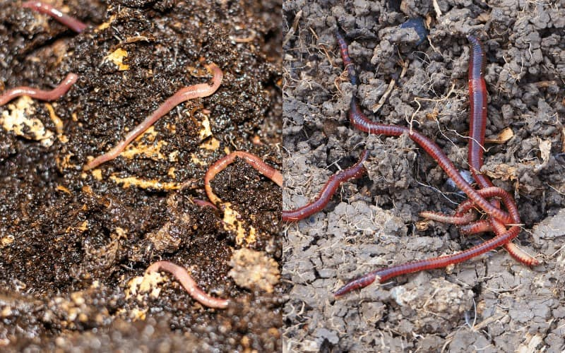Similarities Between Compost Worms And Earthworms