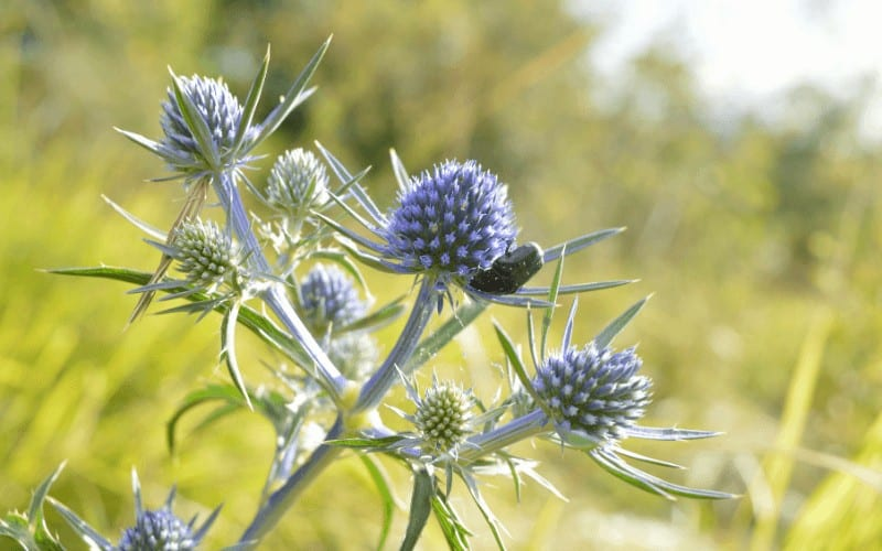Variable Leaved Sea Holly