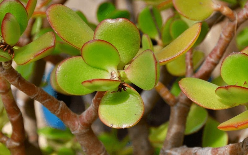 What Are the Symptoms of a Dying Jade Plant