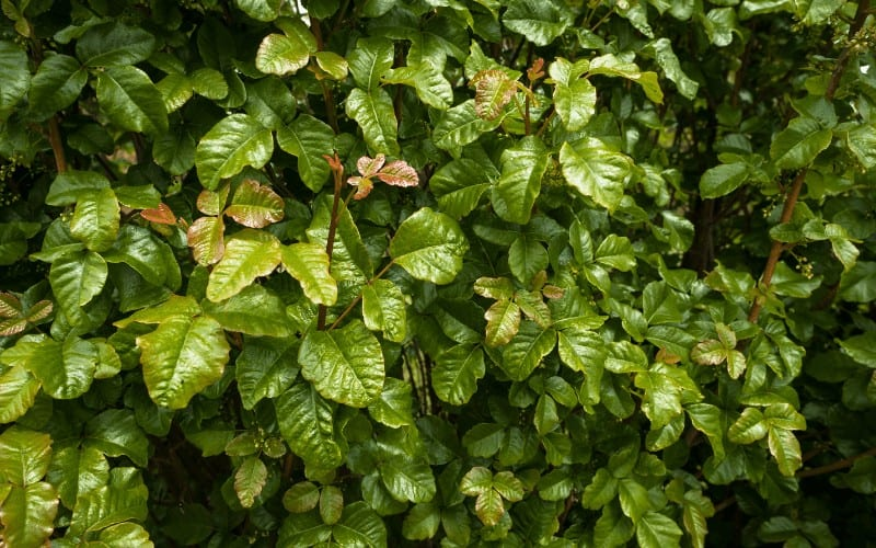 What is Poison Oak