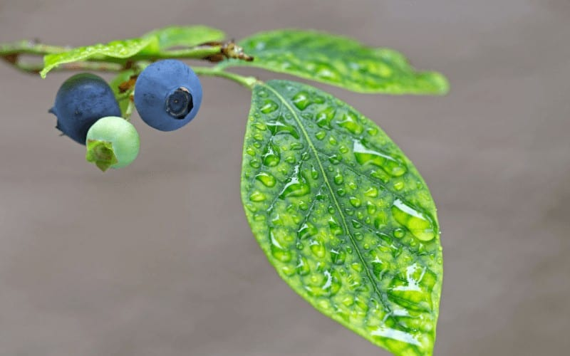 Why Your Blueberry Plant Is Dying