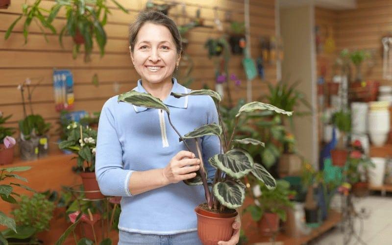 difference between maranta and calathea plant