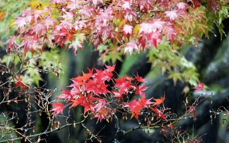 signs of a dying japanese maple tree