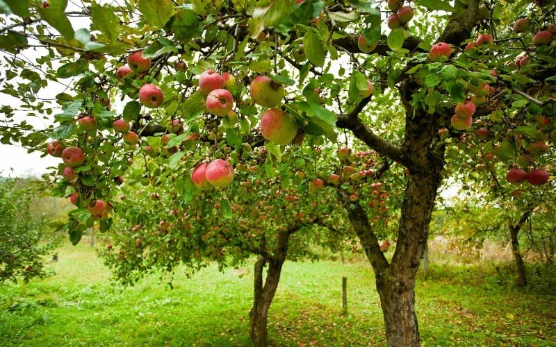 Are Apples Man Made