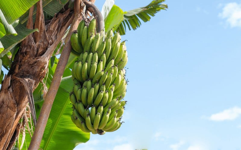 Are Bananas Man Made