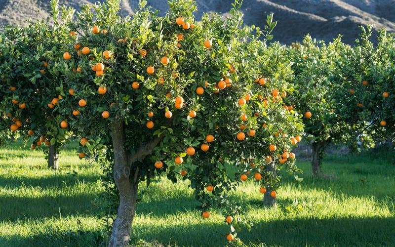 Are Oranges Man Made