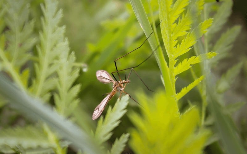 Can Diatomaceous Earth Kill Gnats