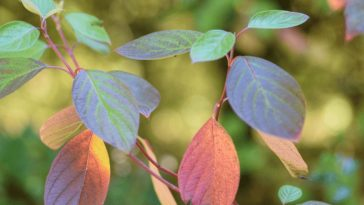 Can You Save a Dying Dogwood Plant