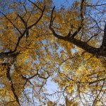 Ginkgo Tree Varieties