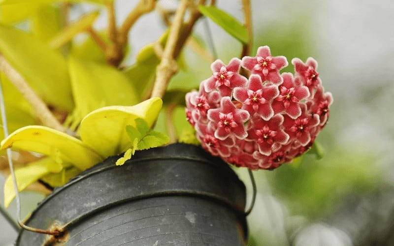 How To Propagate Hoya Krimson Princess