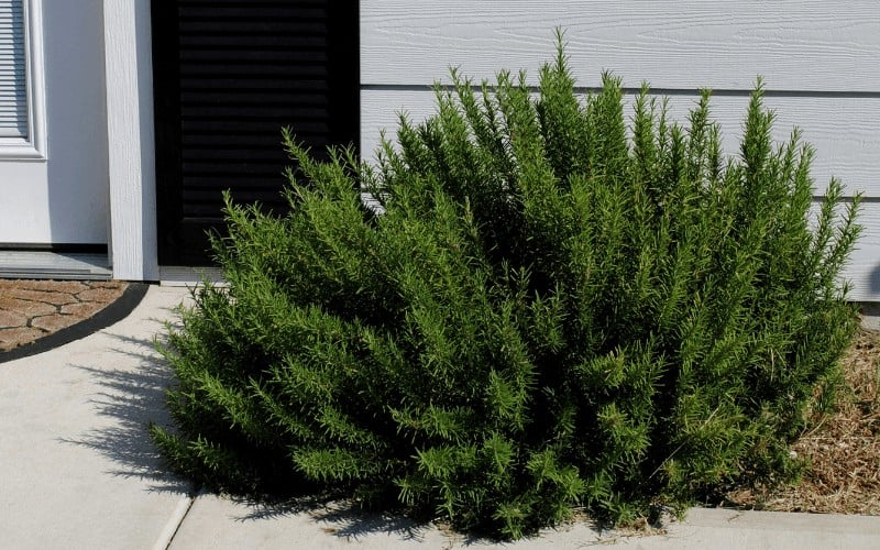 How to Save a Dying Rosemary Plant