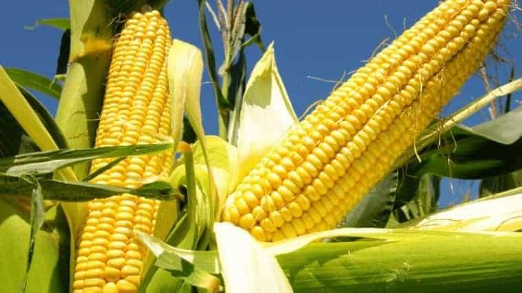 Is Corn Man-Made