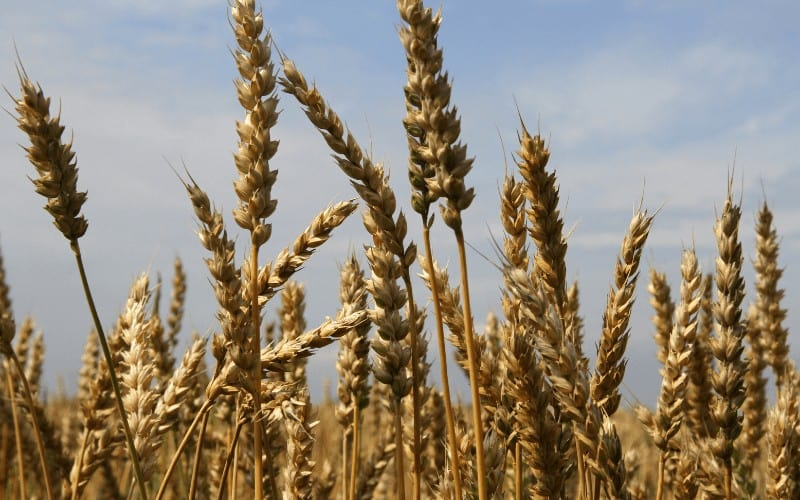 Is Wheat Man Made