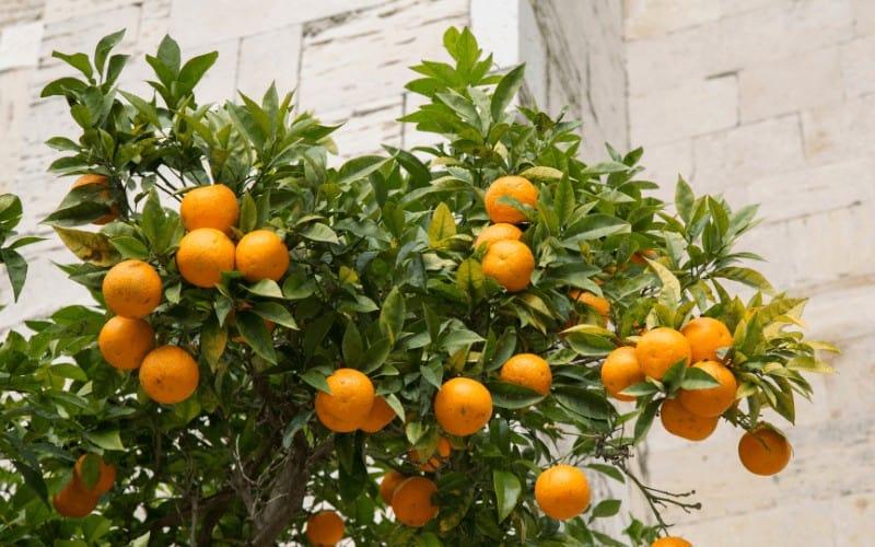 Origin of Orange Tree