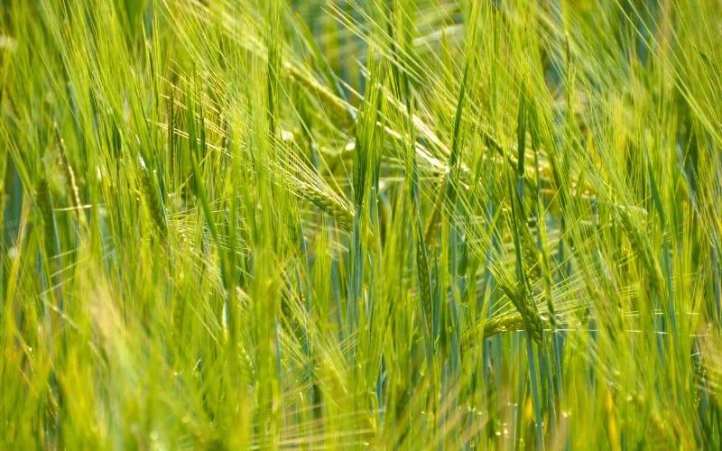 Origin of Wheat Plant