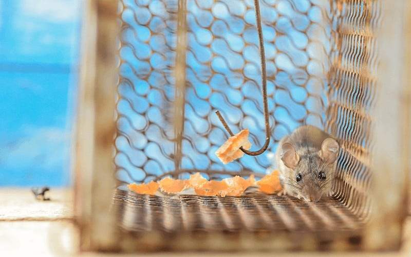 Rat trap to Protect Fruit Trees from Rodents