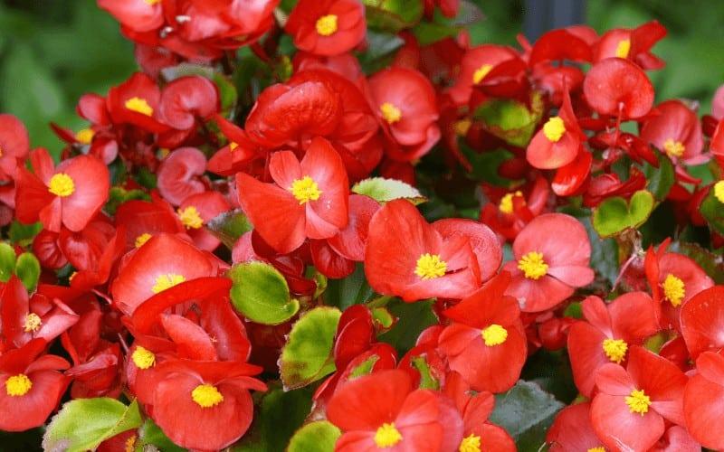 Red-Stemmed Begonia
