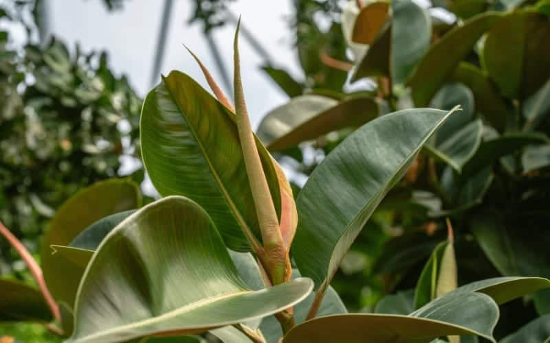 Signs Of a Dying Rubber Tree Plant