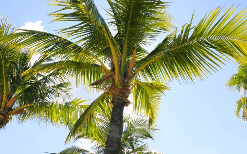 Types Of Palm Trees In Florida