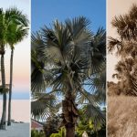 Types Of Small Palm Trees In Florida