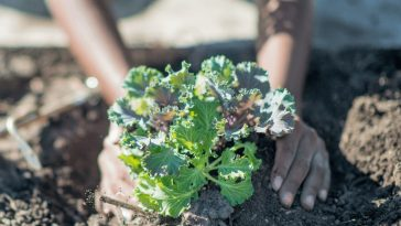 Where Did Kale Originate From