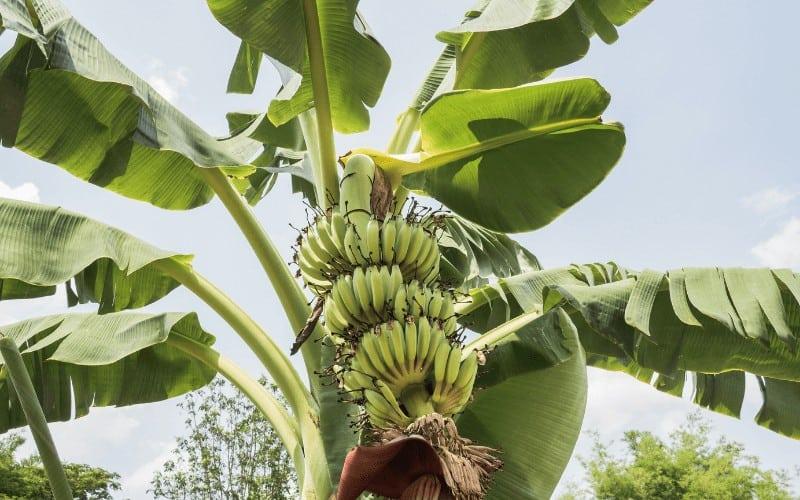 Where Do Bananas Come From Originally