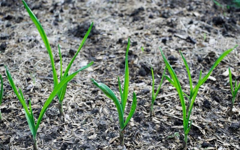 Where Do Garlic Come From Originally