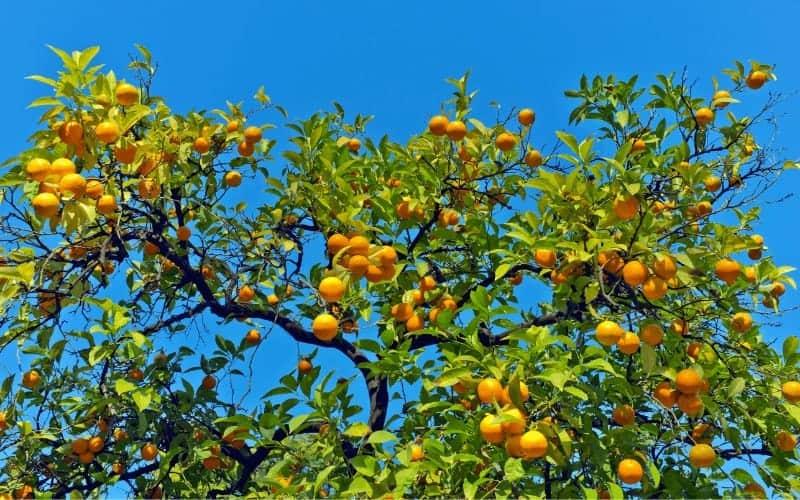 Where Do Oranges Come From Originally