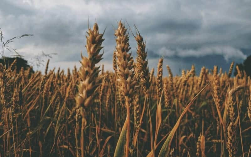 Where Does Wheat Come From Originally