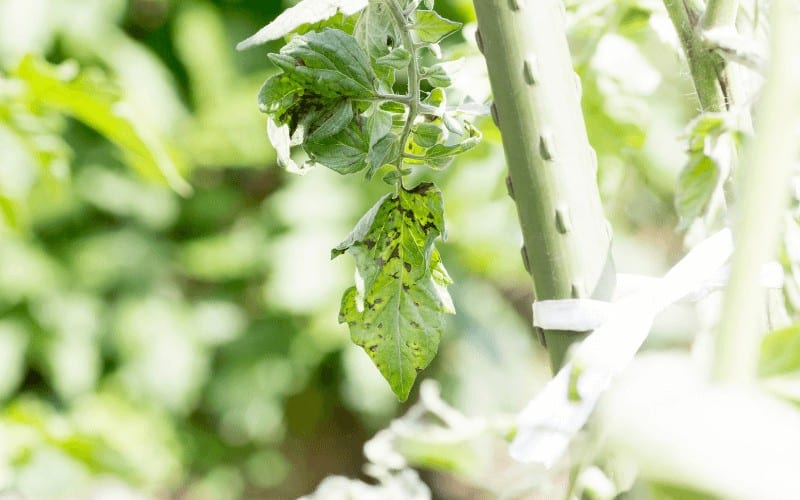 Why Is Tomato Plant Wilting After Transplant