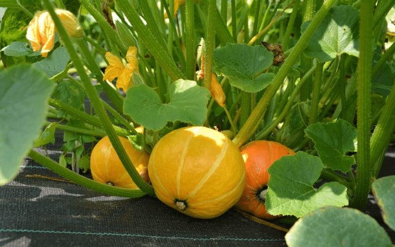 companion plants for winter squash