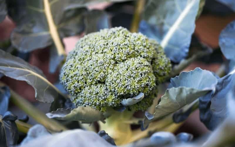 who made broccoli