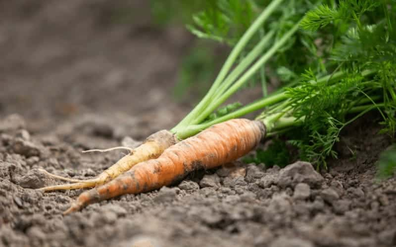 How Nutritious Are Carrots as Vegetables