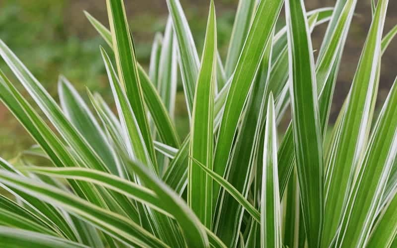 Interesting Facts About Spider Plants