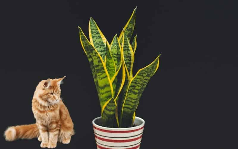 Is Snake Plant Safe for Cats (Dogs & Other Pets?)