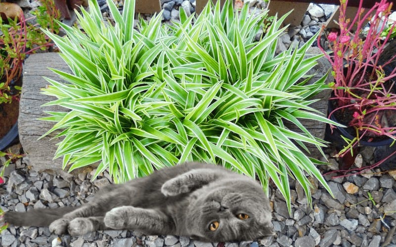 Is Spider Plant Safe For Cats