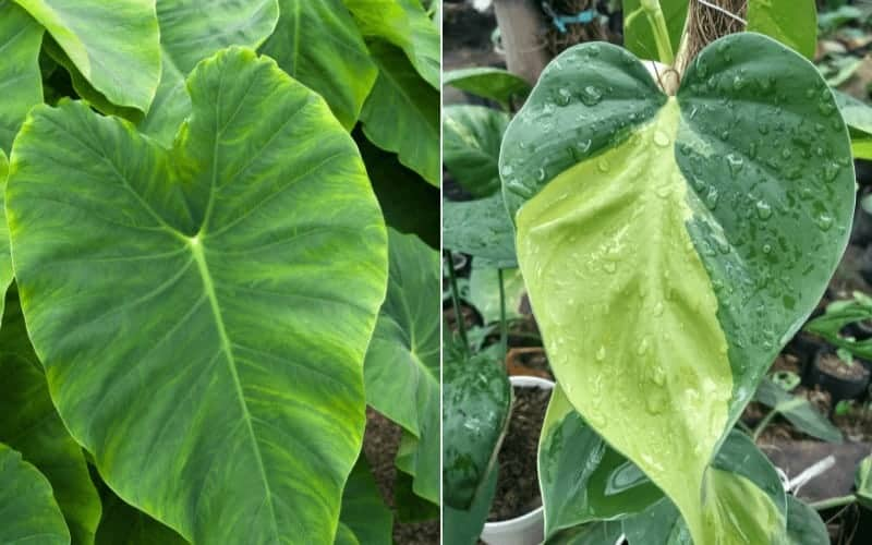 Differences Between Philodendron Cordatum and Hederaceum