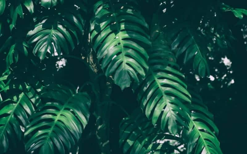 How Much Humidity Does Monstera Need