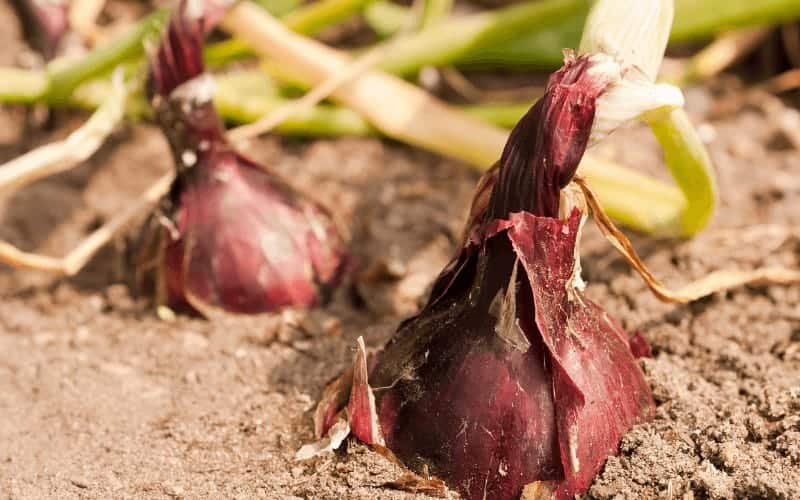 How To Care For Red Onions