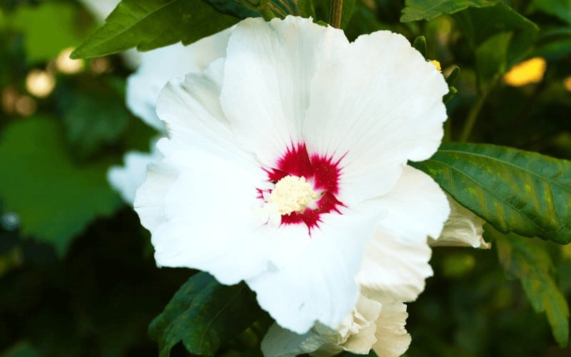 How To Get Rid Of White Bugs On Hibiscus
