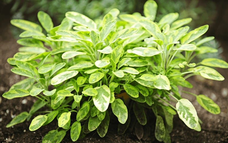How to Grow Sage from Cuttings