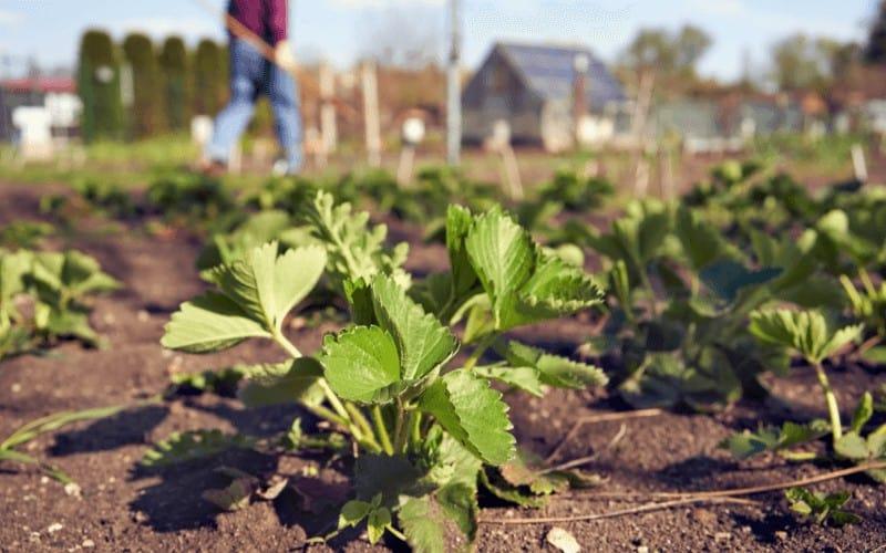 Do Strawberries Like Acidic Soil
