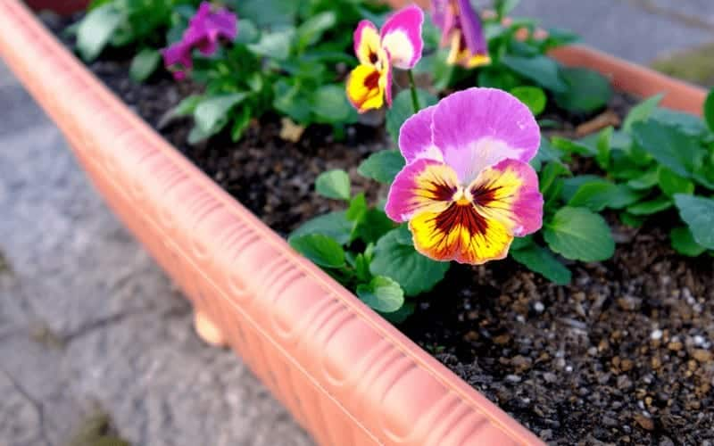 How Often to Water Newly Planted Violas