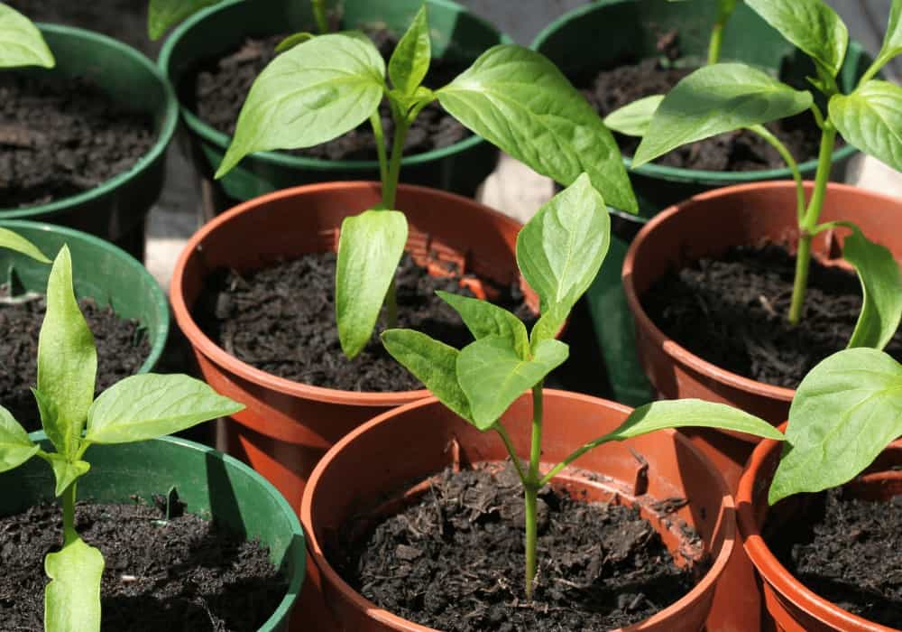 How To Grow Bell Peppers From Scraps