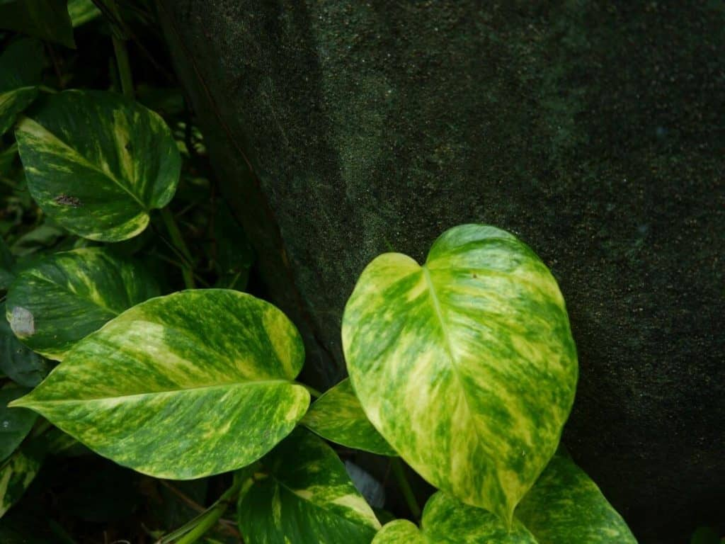 How to Save Overwatered Pothos