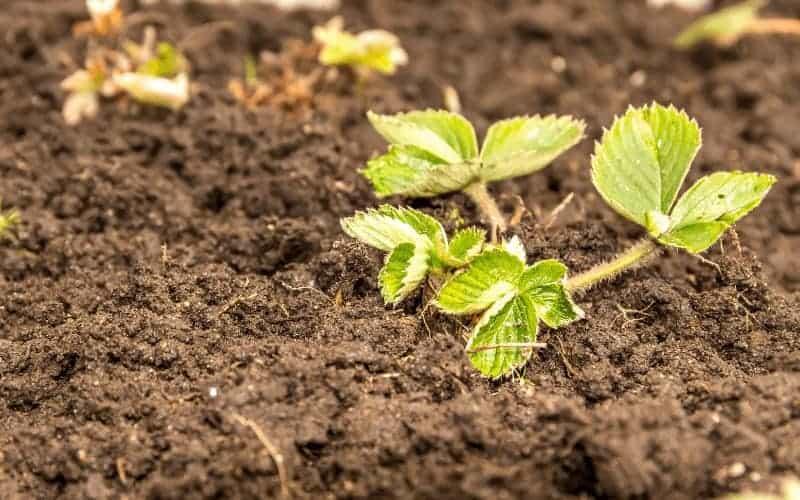 is acidic soil good for strawberries