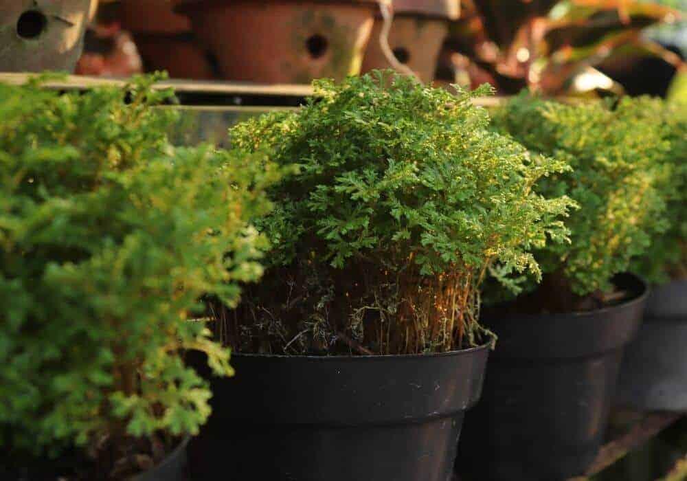 moss plant varieties