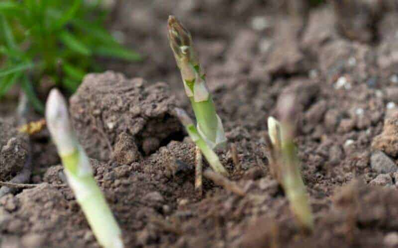 Can You Grow Asparagus from Cuttings